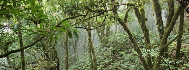 Forêt laurisylve