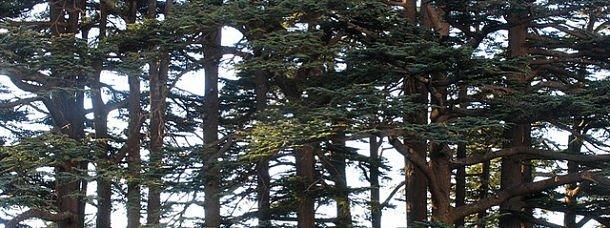 Cèdres du Liban