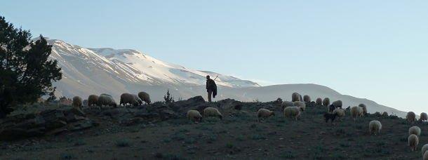 Haut Atlas moutons