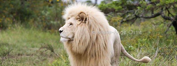 Lion blanc d'Afrique du Sud