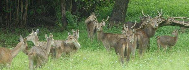 Des cerfs... à l'Ïle Maurice