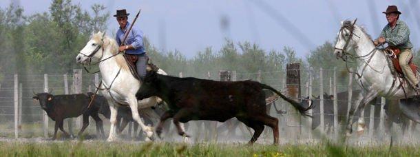 Camargue: sous le signe du taureau