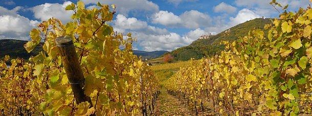 Vignes alsaciennes