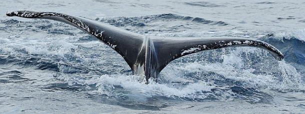 La queue d'une baleine à bosse