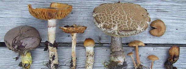 montrer ses champignons