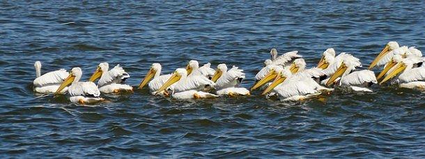La migration des pélicans blancs
