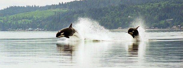 Des orques en plein saut