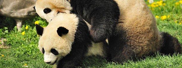 panda-vienne-autriche