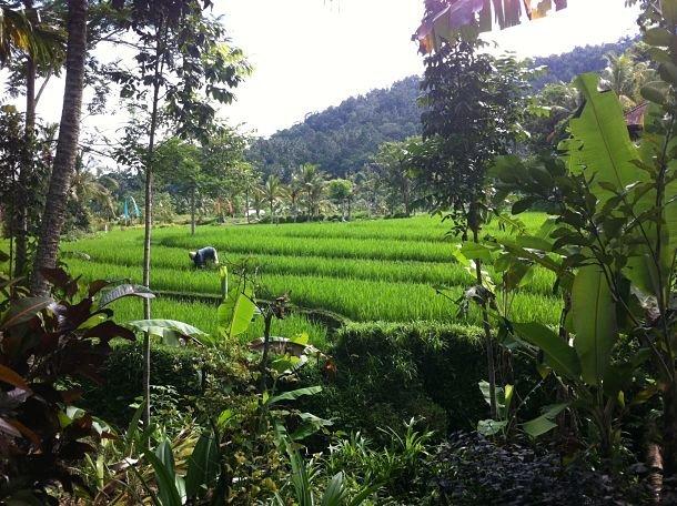 Les rizières de Bali ©Julie Wood