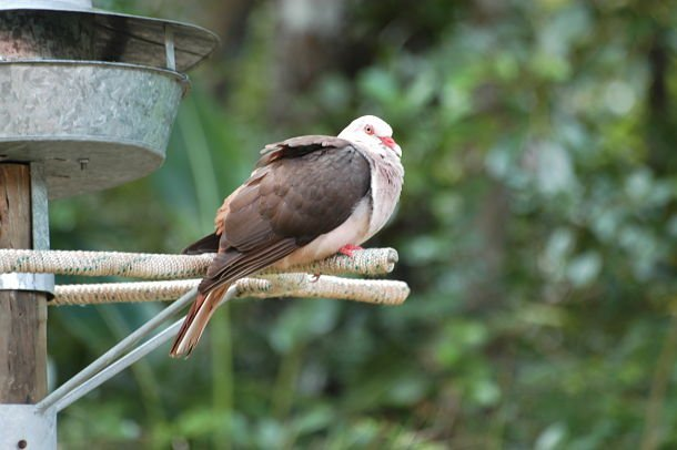 Pigeon rose maurice animaux
