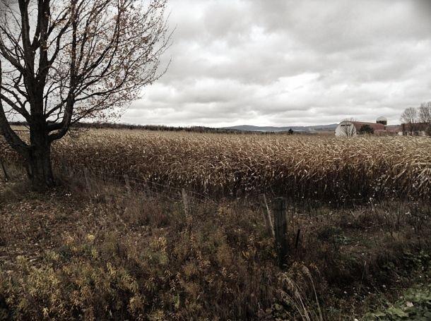 Les champs de maïs au départ de Mystic.