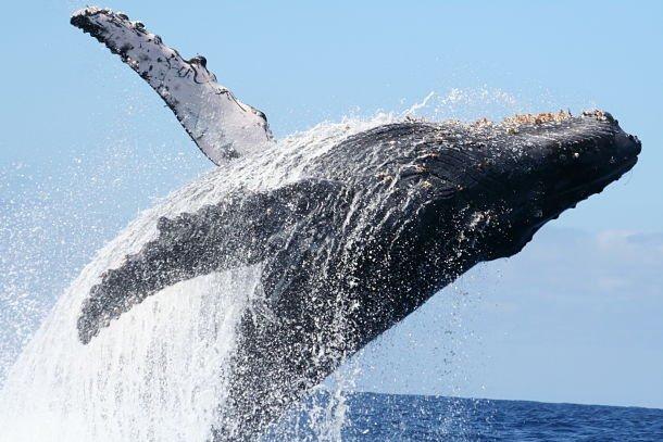 Une baleine à bosse. Des allures de monstre préhistorique avec leurs protubérances pileuses (à ne pas confondre avec leur bosse dorsale).