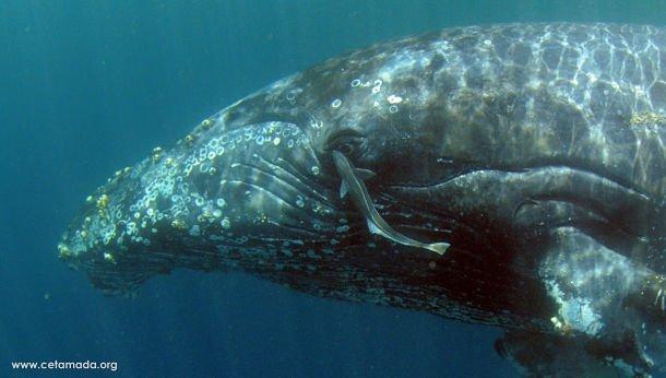 La baleine peut rester sous l'eau une trentaine de minutes maxi