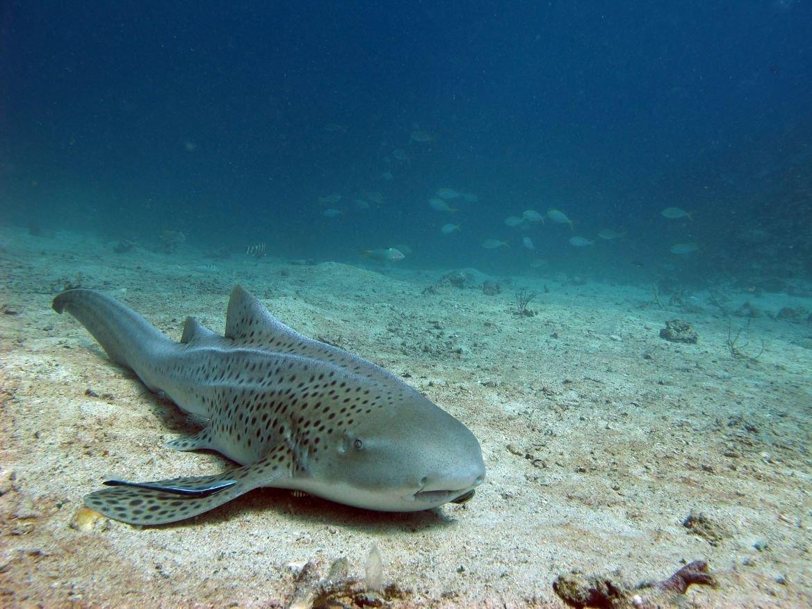 Léopard de mer dans la mer d'Amadan ©kataleewan intarachote/Shutterstock