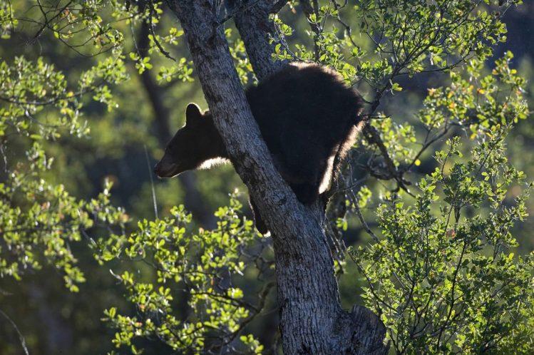 Ours noir perché sur un chêne dans le parc de Sequoia ©imageBROKER/hemis.f ouest américain
