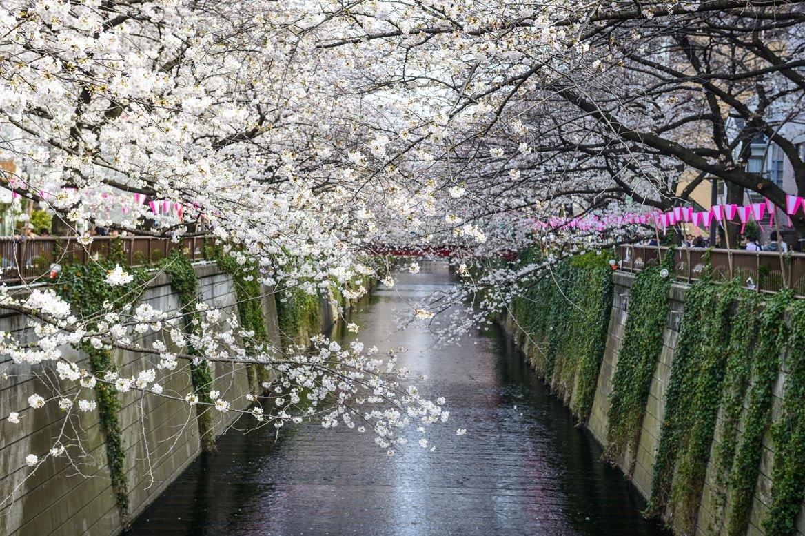 Tokyo, Japan at Meguro Canal in the spring season ©Sean Pavone