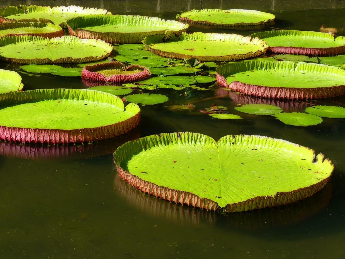 jardin pamplemousses maurice