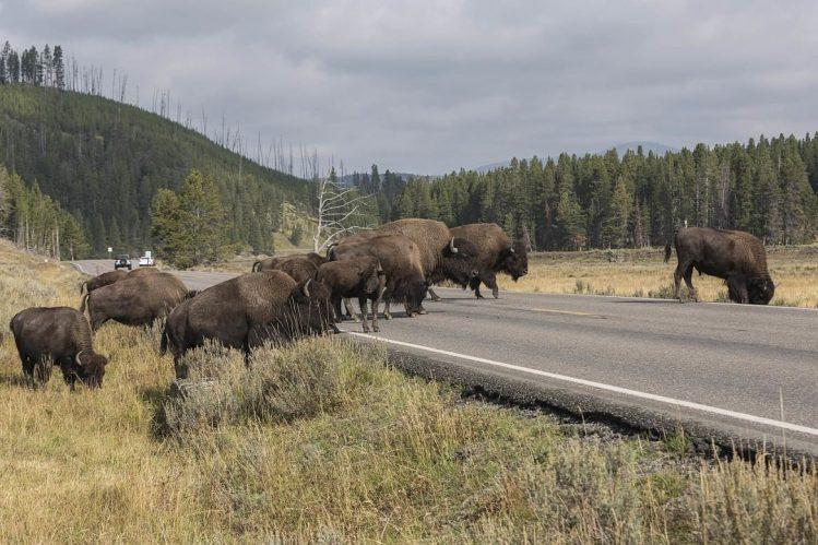 Bisons, Yellowstone National Park, États-Unis ouest américain