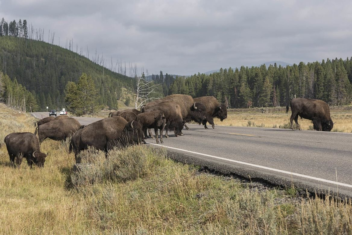 Bisons, Yellowstone National Park, États-Unis
