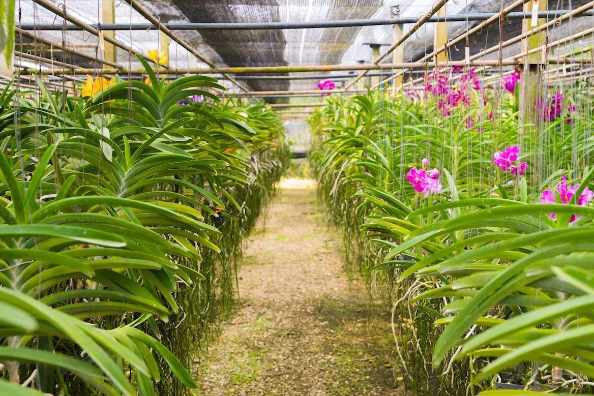 Ferme d'orchidées à Chiang Maï