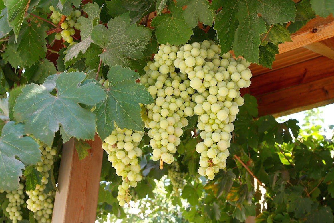 Grappe de raisin, Crète