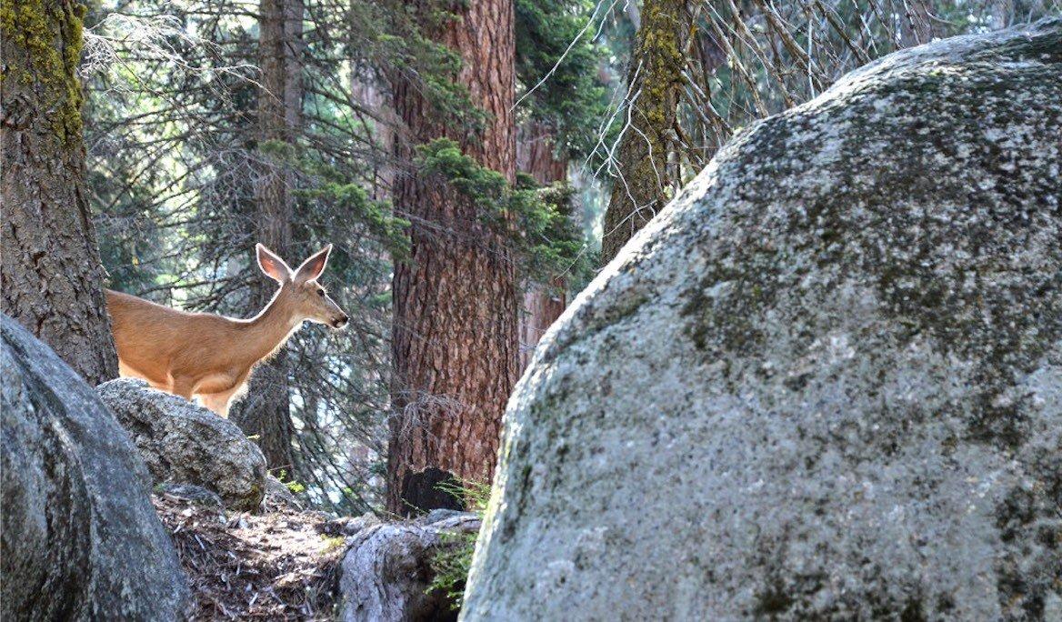 Biche à Sequoia National Park