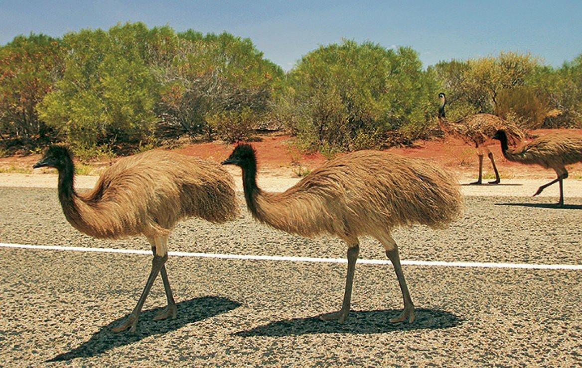 Émeus dans l'Outback