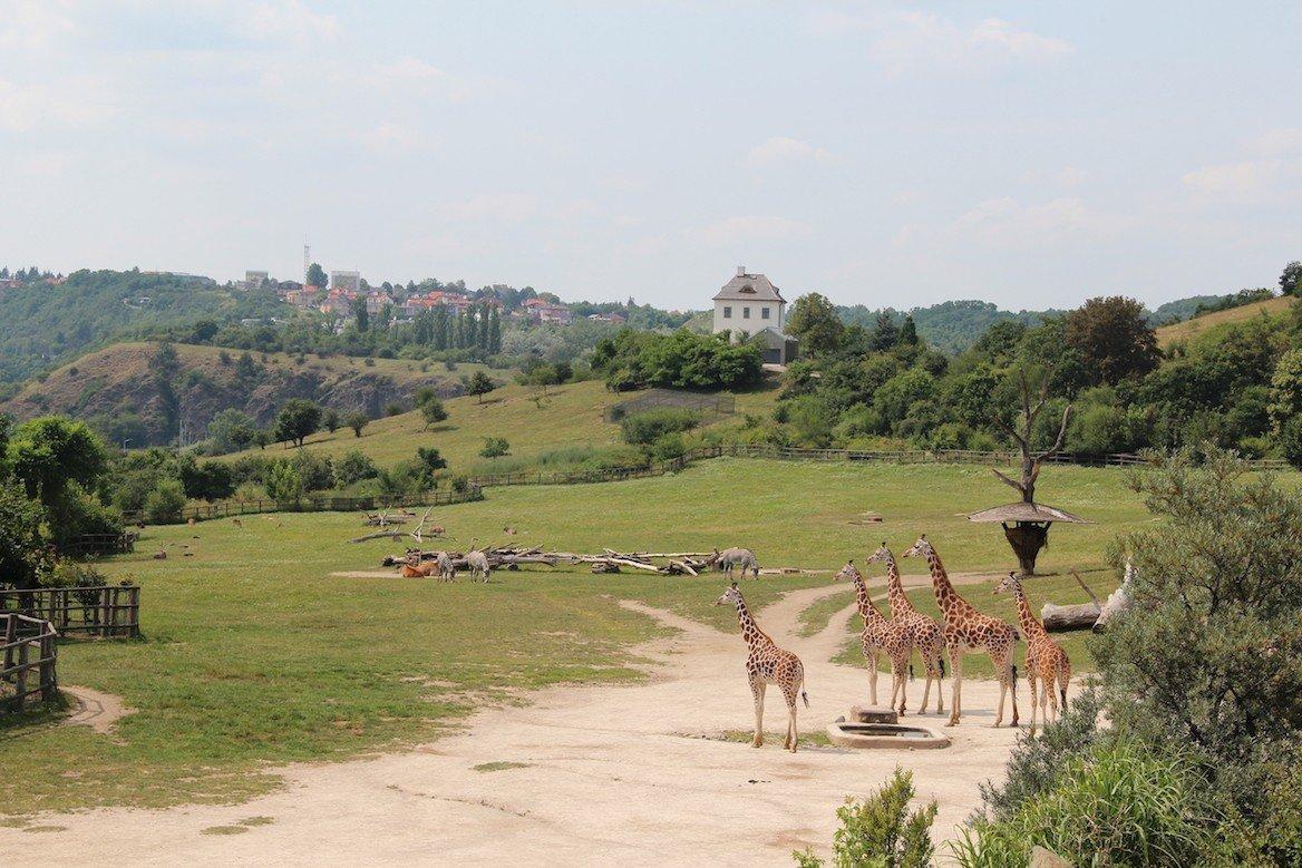 Girafes du zoo de Prague ©Julia Agafonova/Shutterstock