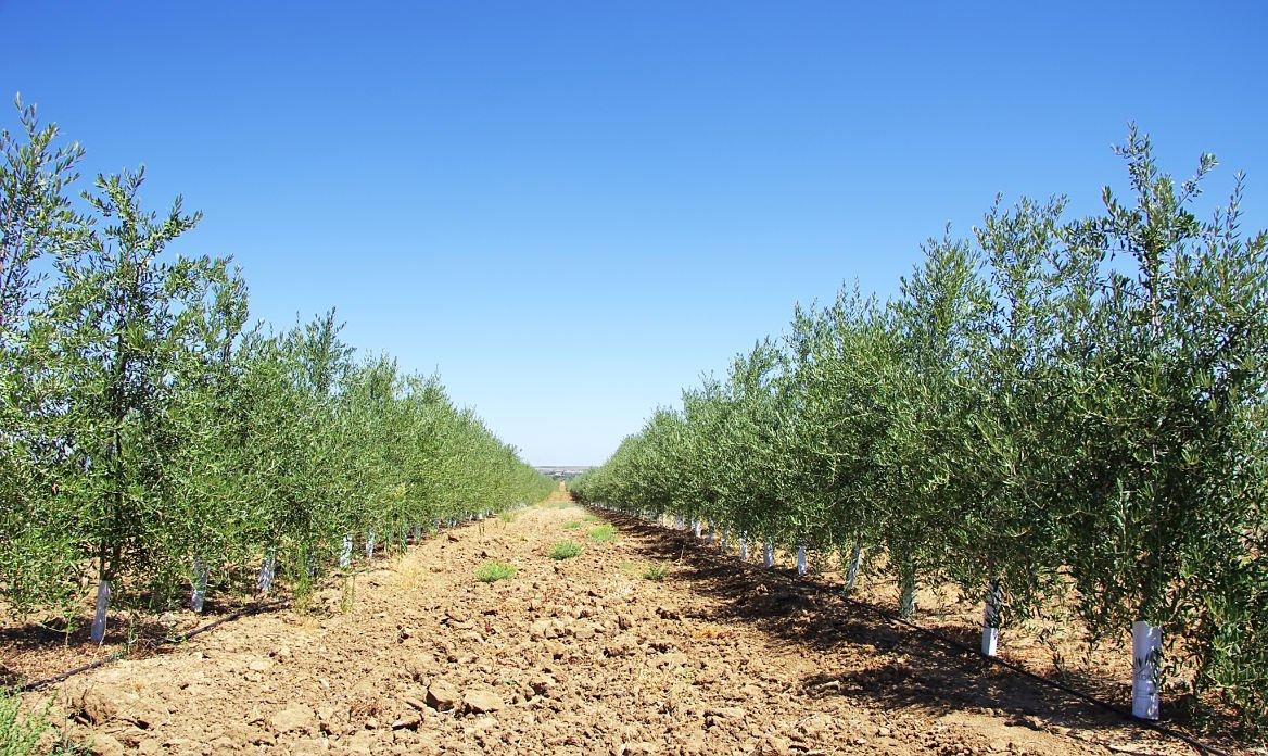 Une plantation d'oliviers au sud du Portugal ©inacio pires/shutterstock