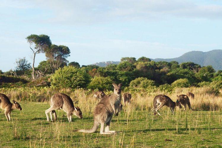 kangourous australie enfants