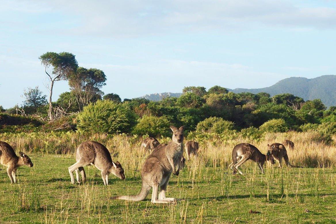 Kangourous en Australie ©We Simply Enjoy
