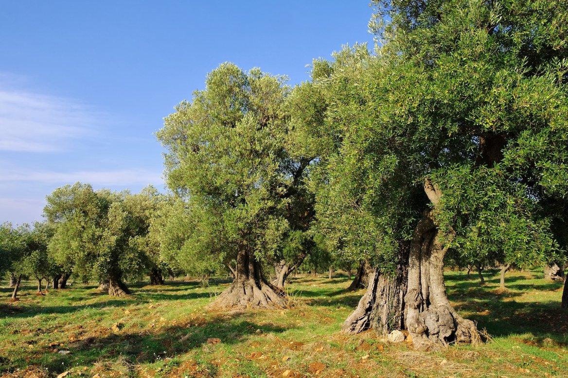 Oliveraie dans la campagne de Bitetto, région des Pouilles, Italie ©LianeM/Shutterstock