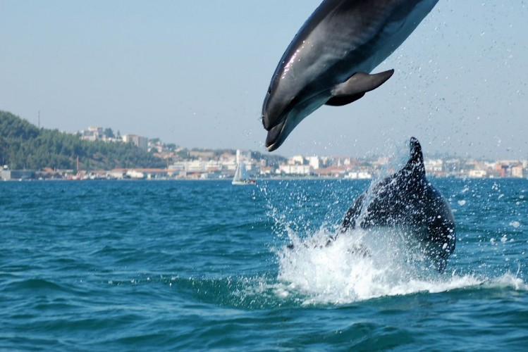 Dauphins à l'estuaire de Sado Lisbonne