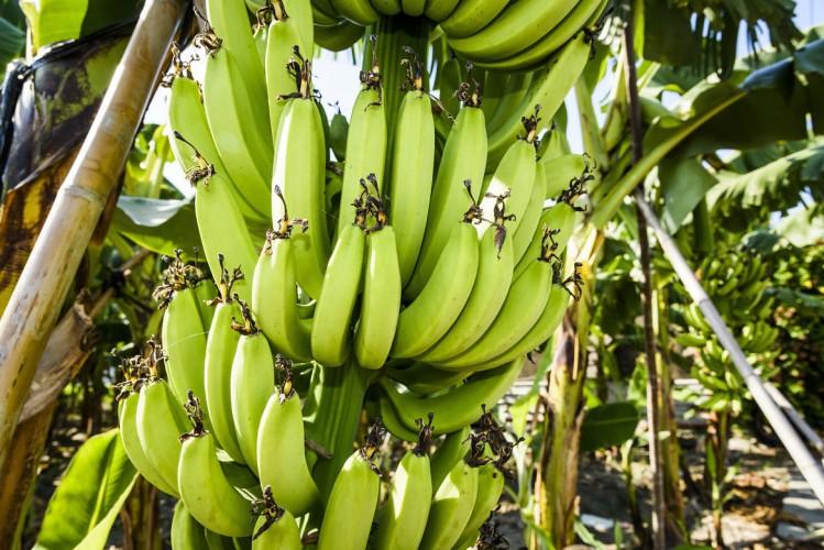 Bananes Guadeloupe