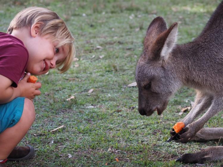 Kangourou Australie Morisset
