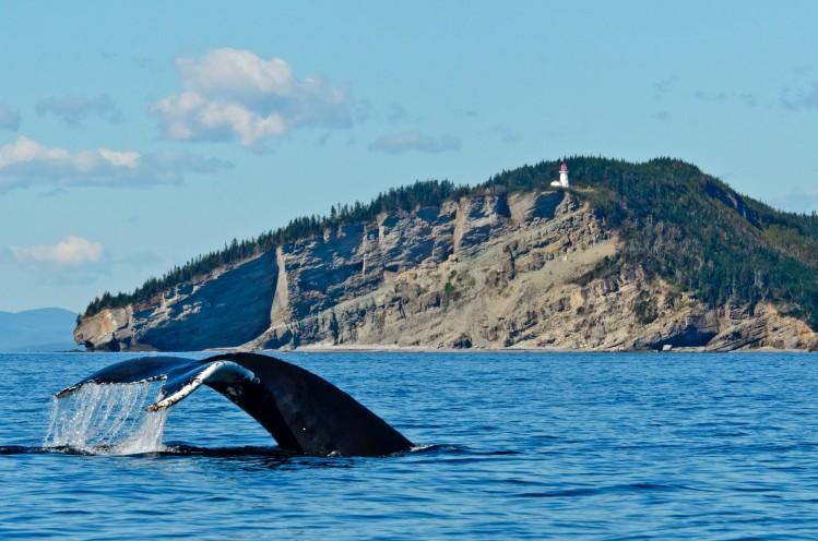 baleine quebec tadoussac forillon saint laurent observation