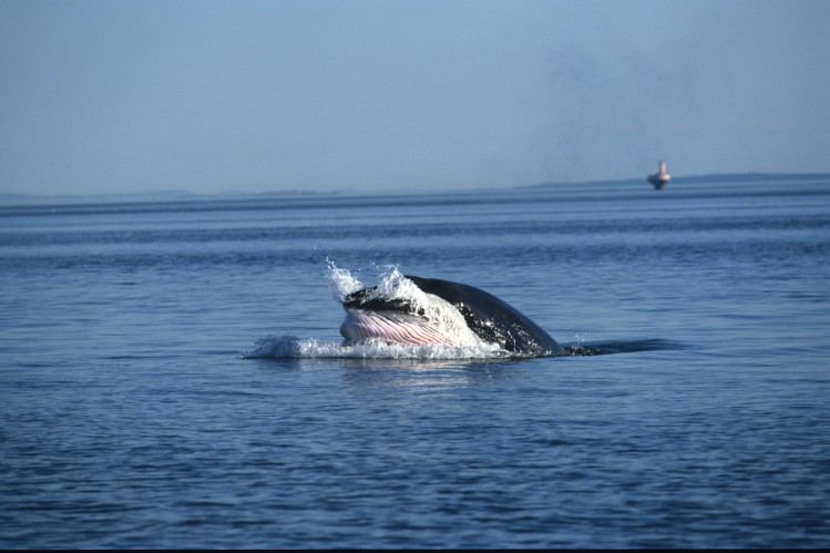 quebec baleine saint laurent saguenay