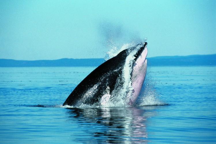 quebec saint laurent tadoussac baleine observation