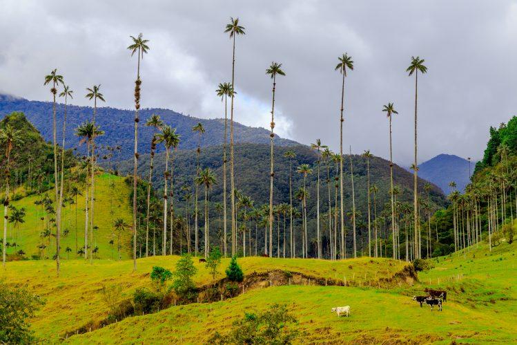 Colombie, Salento, vallée de Cocora