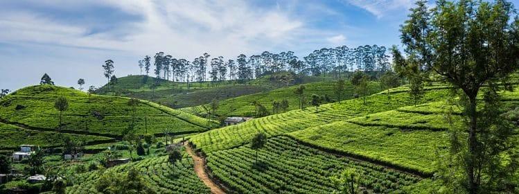 Plantations de thé © Matija Zupan/Shutterstock