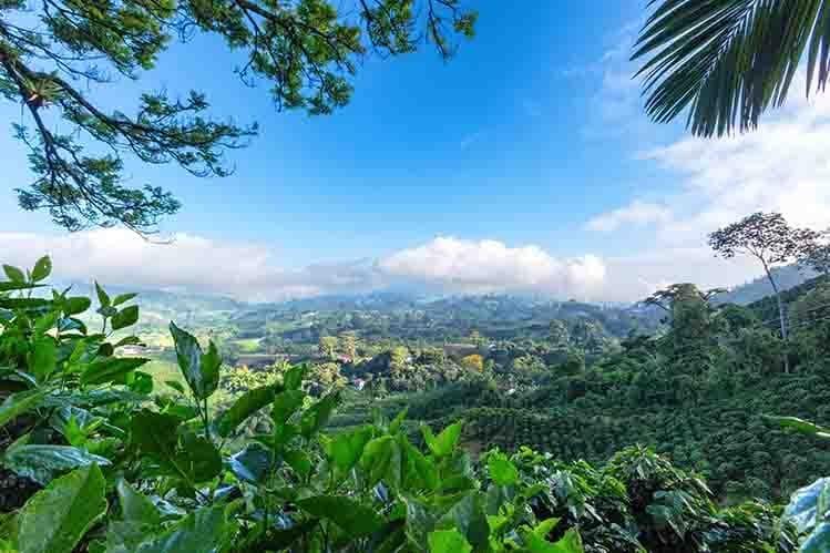 plantations café Manizales Colombie