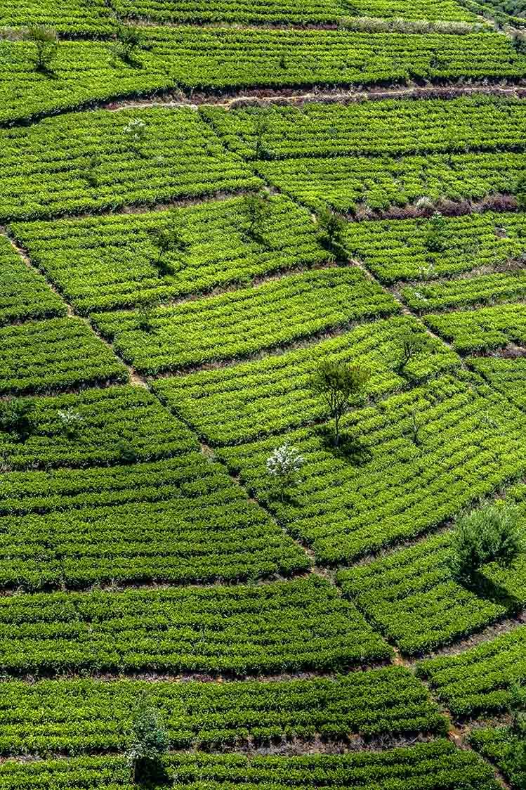 plantation thé Sri Lanka logement