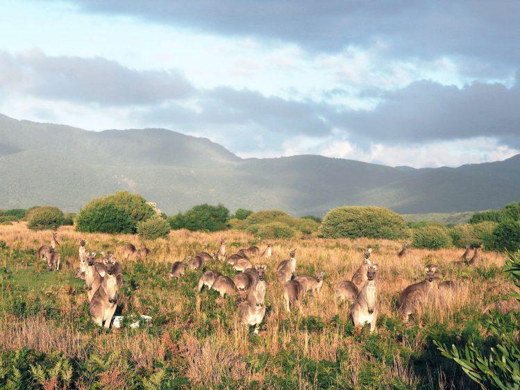 wilsons promontory kangourous australie road trip
