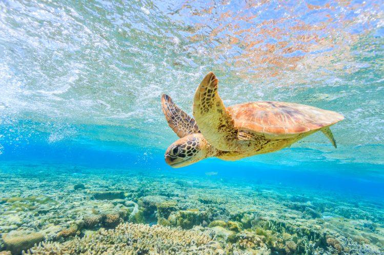 tortue elliot island plongée australie