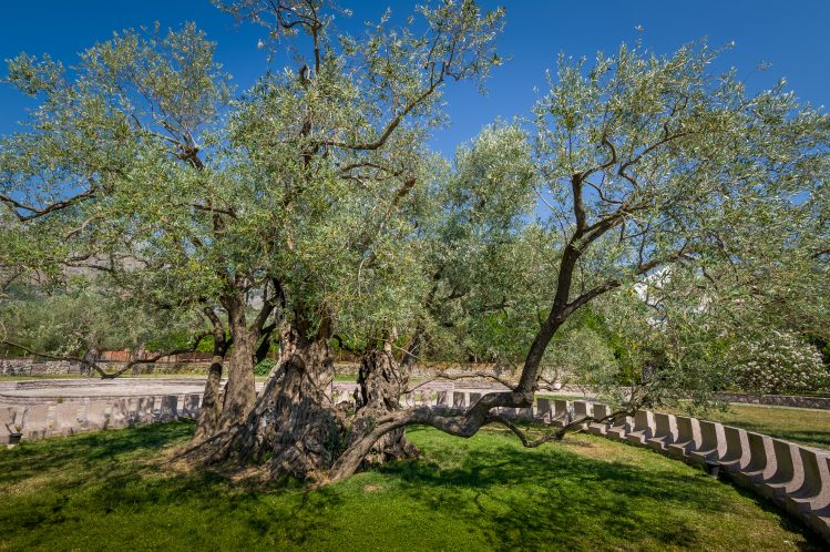 stara maslina olivier montenegro insolite