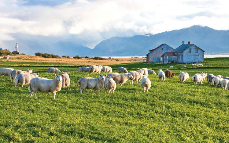 irlande connemara moutons