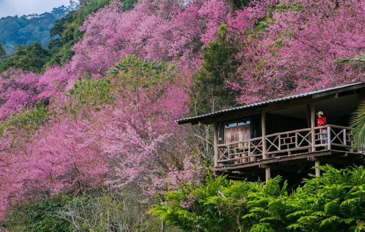 thailande chiang mai cerisiers