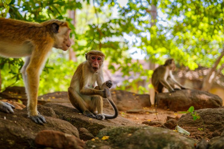 sigiriya sri lanka singes animaux