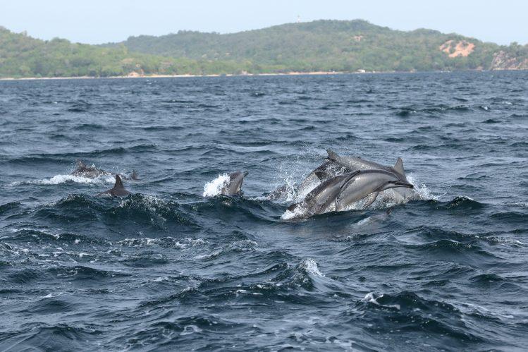 dauphins trincomalee sri lanka safari animaux