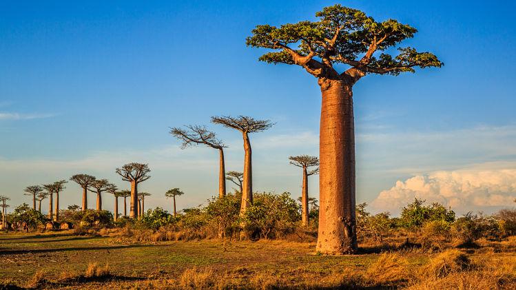 Afrique, baobabs, savane, livre